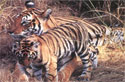 Tiger  - Safari tour in chitwan